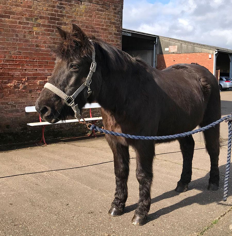 Mollichaff Veteran Helps Dentally-Challenged New Forest Pony