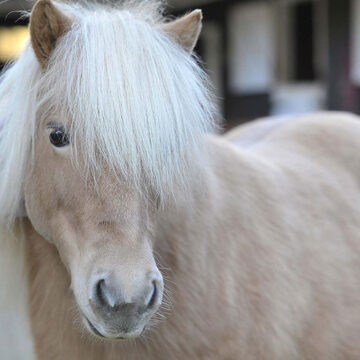 A Happy Ending For Rescued Shetland Pony, Pearl!
